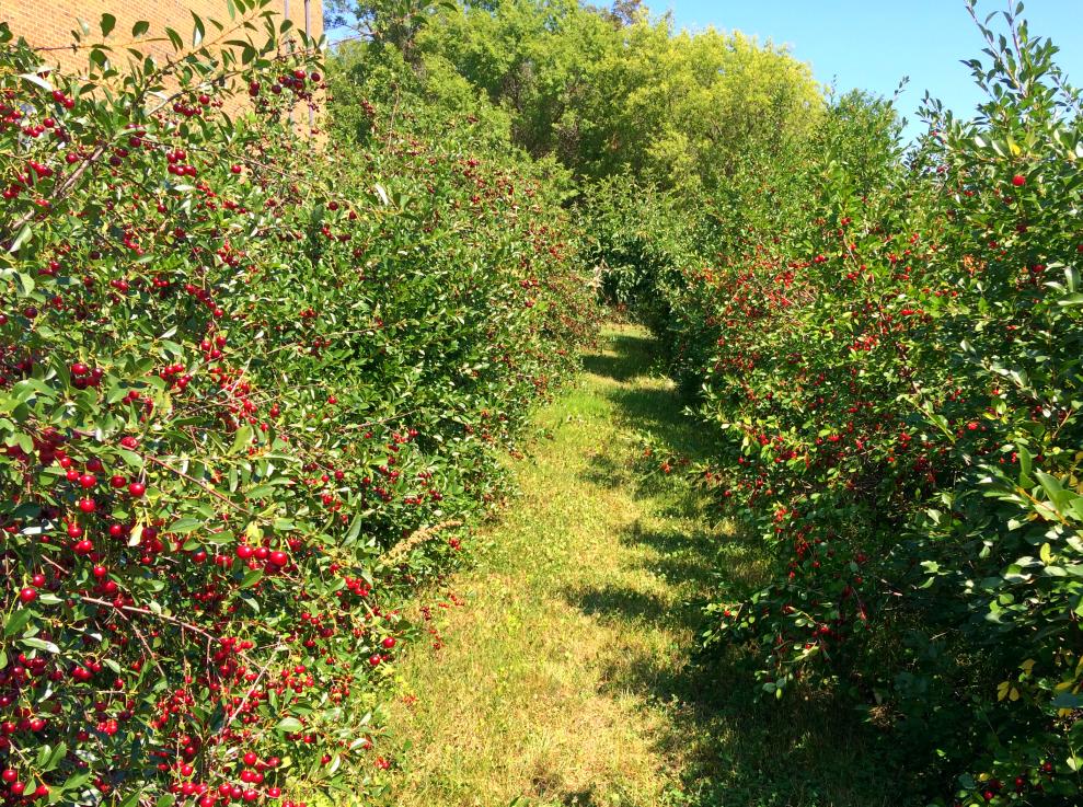 Sand Cherry Bushes