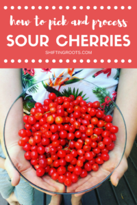 Learn how to pick and process sour cherries to make jam, syrup, pies, desserts and more! Tips on ripeness pitting, canning and more!