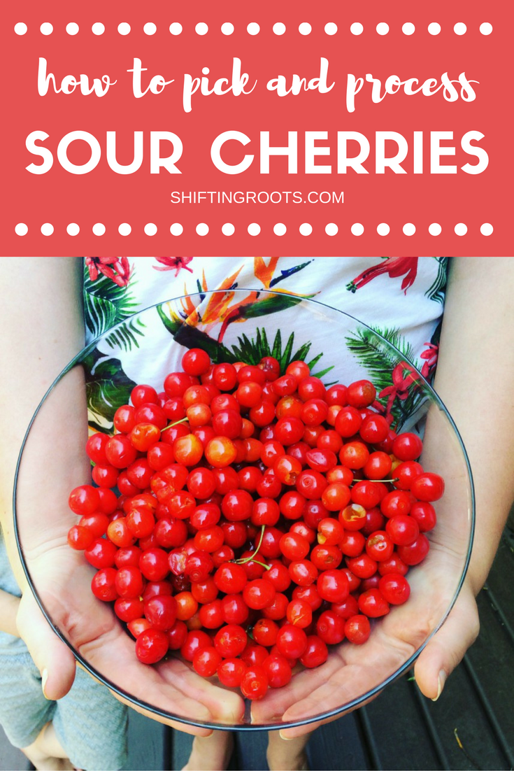 Sour cherries are so worth the effort to pit, process, can and freeze! Every summer I look forward to picking them and can't wait to make all my favourite summer recipes. I've also included my favourite recipe for easy sour cherry jam.