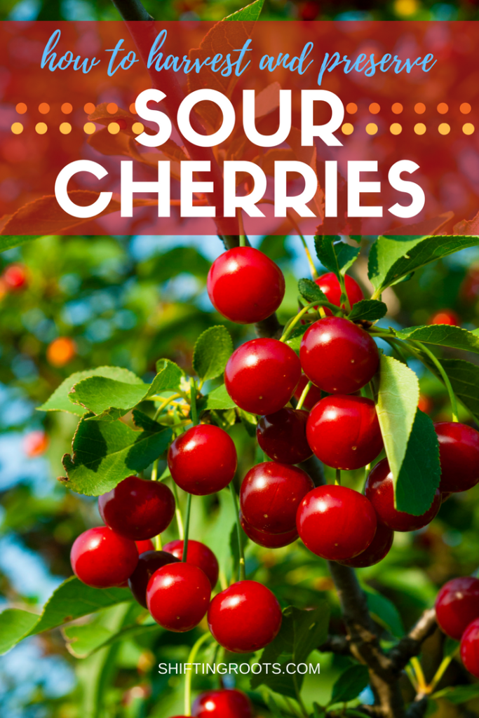 Before you can make your favourite sour cherry jam, juice, crisp, pie, or other desserts, you need to learn how to harvest and preserve your fruit. I'm sharing my best tips for freezing, pitting, and canning for beginners. #sourcherries #freezing #piefilling #cherryjam #sourcherryjam