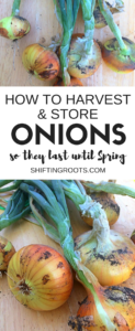 Harvesting onions is super easy and leaves you with delicious onions from your garden until the spring. Tips and tricks for harvest and storage in the fall. #onion #harvest #storage