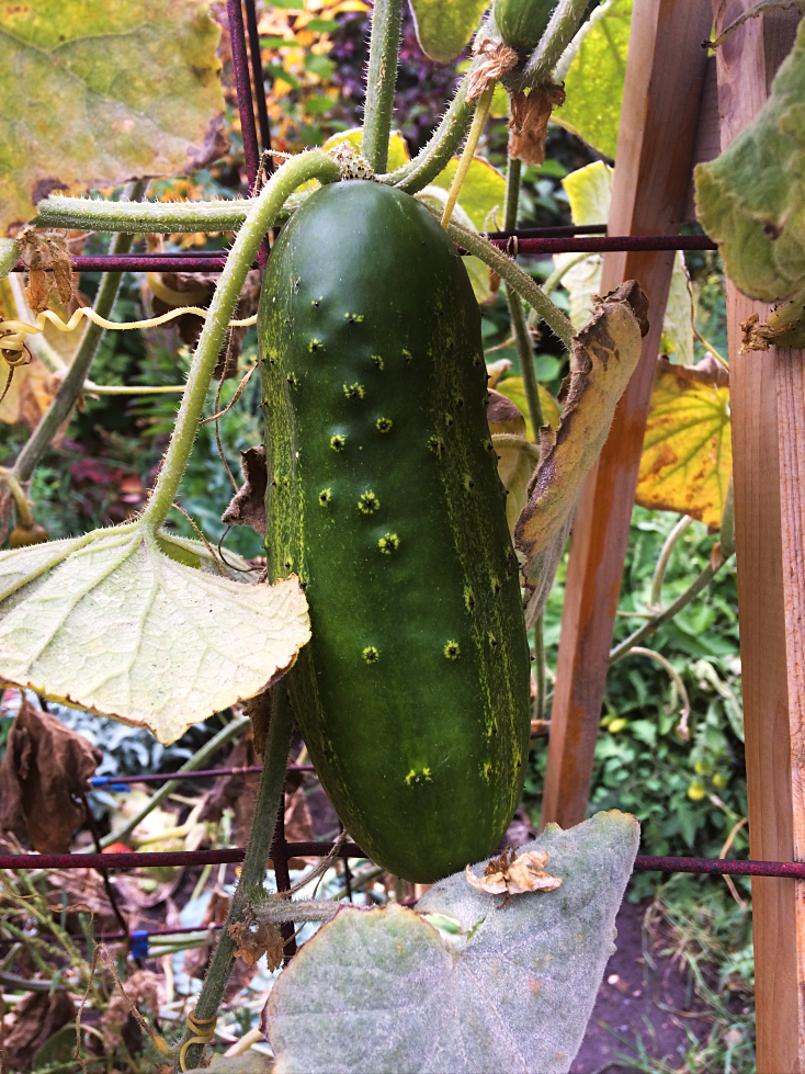 Fall is here but gardening doesn't stop as soon as Autumn begins!! Here's some good tips for beginners on what do with vegetables, perennial flowers, and annual flowers now, so that you'll have an easier Spring.  Less work in the garden?  Yes please!  #gardening #tips #beginners #fall #autumn #garden #vegetables #perennials #cucumber #chores #tasks
