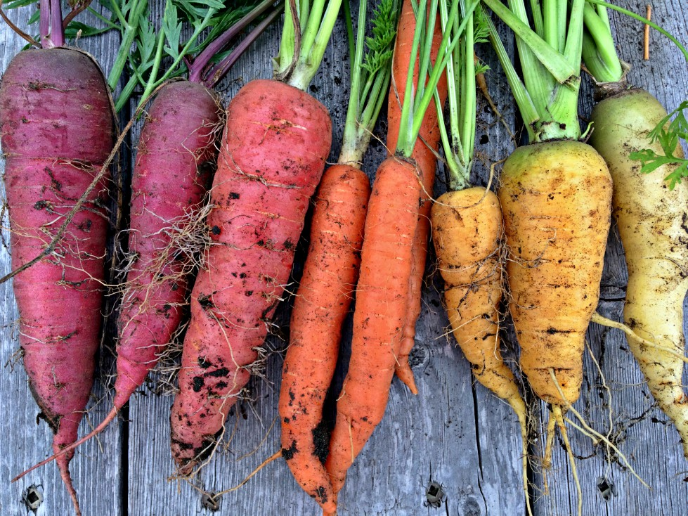 Wondering how to store your carrots so they'll last until Spring?  I'll show you six ways: refrigeration, root cellar, pressure canning, pickling, freezing, and dehydrating. #carrots #canning #pickling #preserving #storage #gardening #harvest