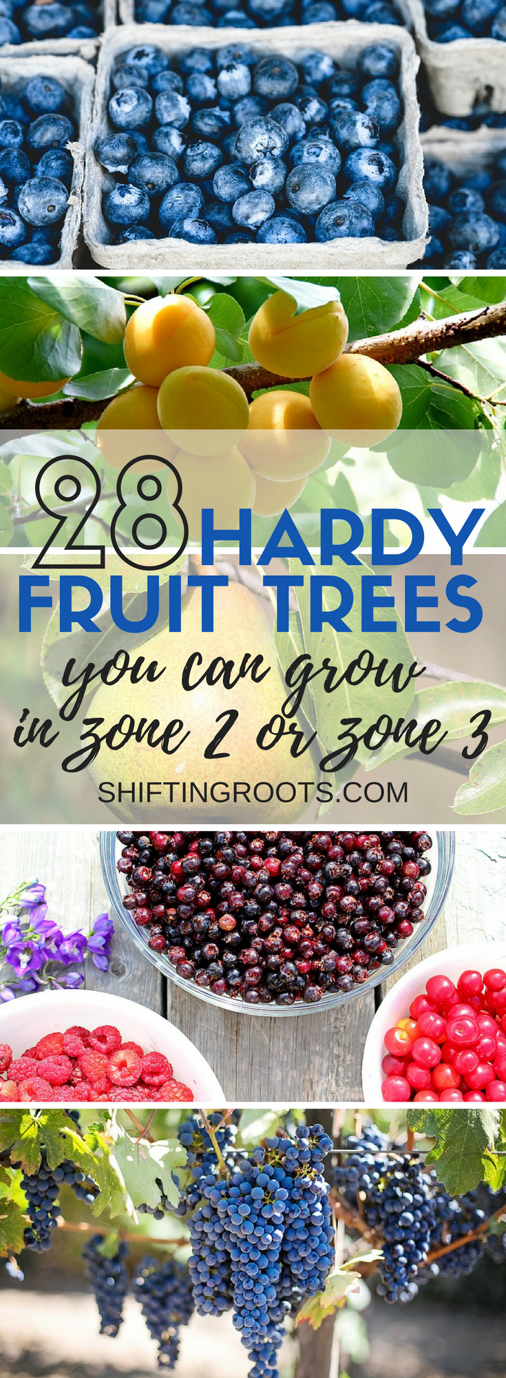 Want to plant hardy fruit trees in zone 2 or zone 3?  I've got 28 hardy fruits you can grow that are perfect for the cold climate backyard, garden, or landscape.  I've included lots of suggestions for my favourite varieties of apples, sour cherries, pears, raspberries, blueberries, grapes, and so much more.  Perfect for gardens in Canada! #gardening #fruittrees #hardyfruittrees #zone2 #zone3 #growfruit #fruitgrower #coldclimategardening #gardeninginCanada