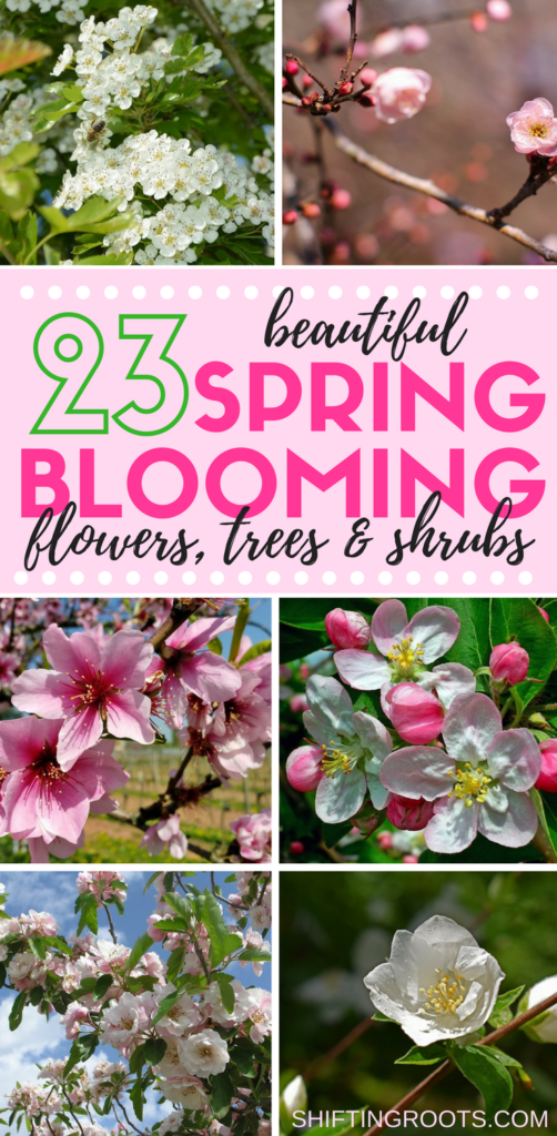 Looking for some beautiful spring blooming plants to add to your garden or landscape? You'll love these 23 flowers, trees, and shrubs. Go beyond tulips or lilacs and discover new favourites for your spring flower garden. #springblooms #gardening #landscaping #springflowers #perennials #floweringtree #floweringshrub #shrubs #springflowergarden #flowergarden #flowerbed