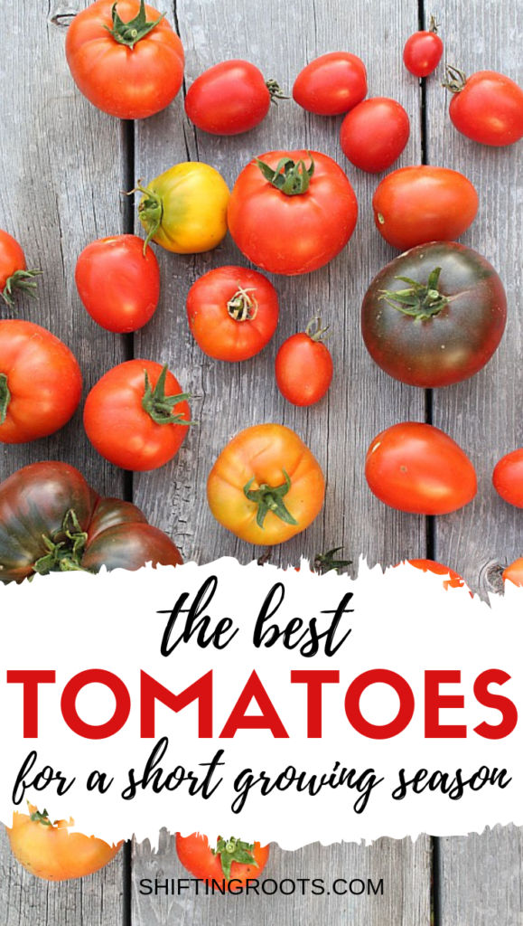 When you live someplace like Canada with a short growing season, it can be tricky to grow tomatoes in your garden.  Here's some varieties that will work in a cold climate vegetable garden--even if you're a beginner or you grow in pots and containers. #gardening #tomatoes