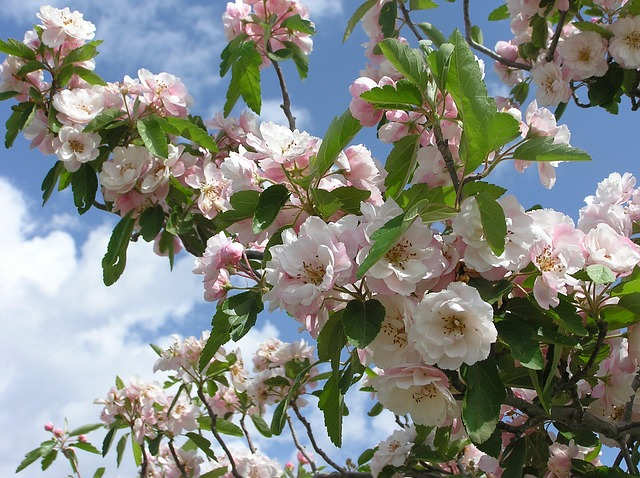 23 beautiful spring blooming perennial flowers trees and shrubs whether your crab apple tree is ornamental or grows edible apples you are guaranteed beautiful blooms in the spring the thunderchild ornamental crab tree mightylinksfo