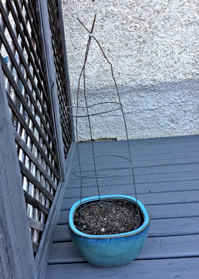 Here's an easy gardening tip for growing sweat peas in pots.  Turn a tomato cage upside down and tie the three ends with a twist tie. #flowergrowing #sweatpeas #tomatocage #growingvertically #containergardening
