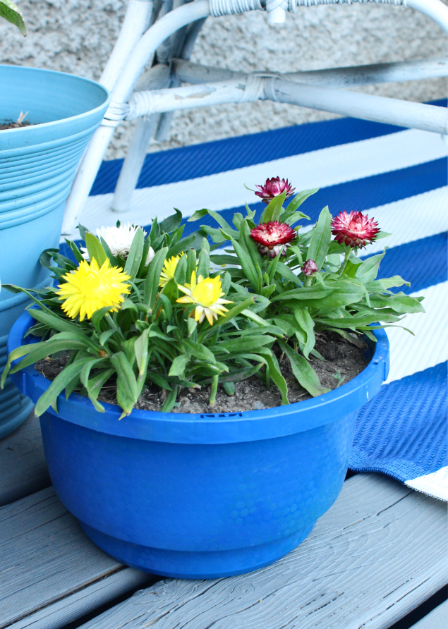 Need an annual flower that can take the heat and sun of your south facing backyard?  You need strawflowers!  These blooms are thriving in their container on my hot patio. #strawflower #flowersinpots #flowergardening #annualflowers