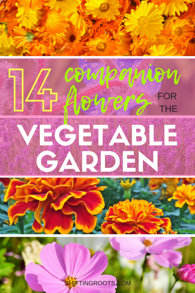 Flowers and vegetables belong in the garden together.  I'll show you the best flowers for companion planing in your yard or raised bed, allowing you to create a layout that keeps the bugs at bay! #gardening #companionplanting #beginnergardening #gardeningtips #flowergardening #flowers #vegetablegardening #flowergardening