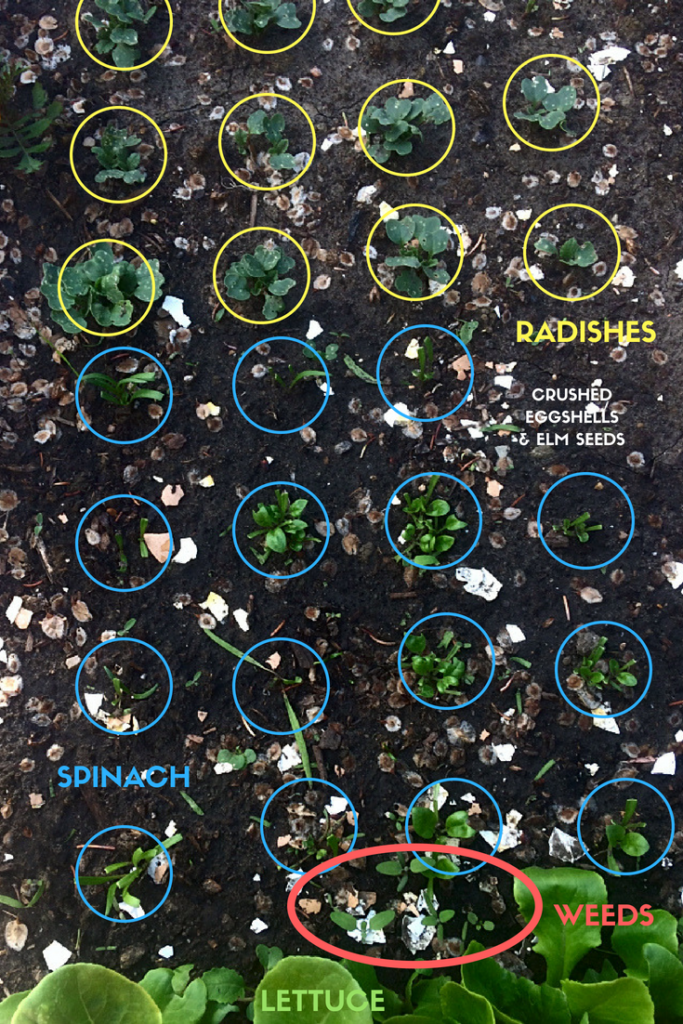 Planting a vegetable garden for the first time? You'll need to know how to figure out what are weeds and what are plants. Whether you garden in raised beds, small spaces, or by rows, you need to know these beginner gardening tips! #weeds #vegetablegardening #gardening #planting #seedlings #beginnergardener #firsttimegardener