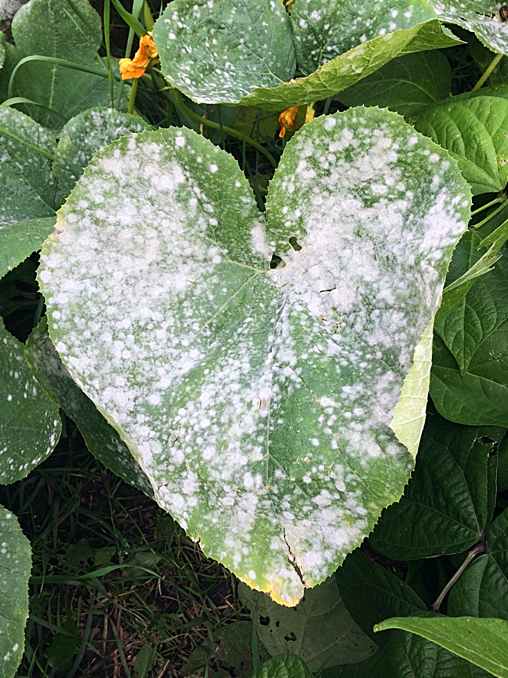 Need to get rid of powdery mildew on your squash, cucumbers, pumpkins, or zucchini?  I'll show you the treatment I use on the plants in my garden, and talk a bit about prevention for next time. #gardeningtips #powderymildew #vegetablegardening #vegetablegarden #beginnergardener #gardentips #gardeningtips