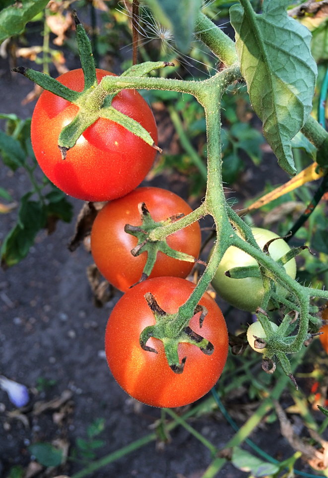 Preserving tomatoes by canning is great but time consuming.  Learn how to use your slow cooker, oven, and freezer to same you time this harvest.  Never waste your garden vegetables because you couldn't get to them! #gardening #tomatoes #vegetables #canning #freezing #preserving