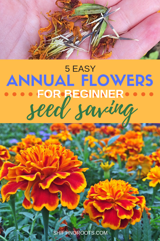 Seed saving annual flowers is way easier than I could have imagined.  Here's 5 perfect-for-beginners plants to collect seeds this fall for a frugal flower garden next spring. #annuals #annualflowers #seeds #seedsaving #beginners #garden #gardening #flowergarden #flower #tips #ideas