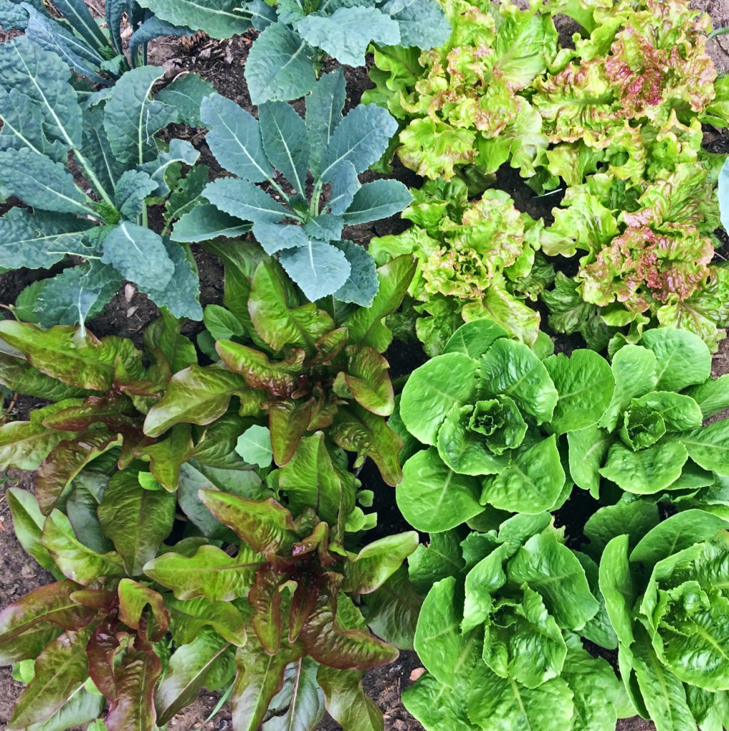 Lettuce and kale are both beautiful and tasty vegetables in the garden.  They are easy to grow for beginners, grow in small spaces, and regrow when you cut them. #lettuce #kale #garden #gardening #vegetable