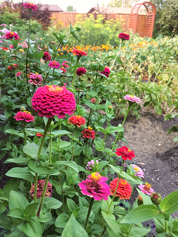 My gardening goal?  Grow more annual flowers in my garden amongst the vegetables.  Companion planting at its finest, and so pretty in your backyard garden! #zinnas #flowers #annual #garden #gardening #flowergardening