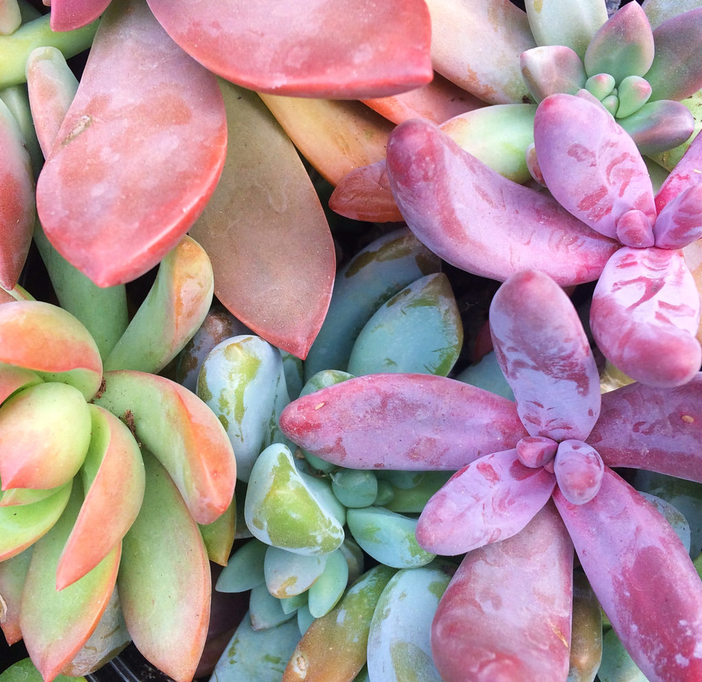 I'm in love with these rainbow succulents, but they're constantly dying indoors in my containers and terrariums.  Here's how to care for them instead, plus some tips for propagating tired looking succulents into beautiful decor. #succulents #indoorgardening
