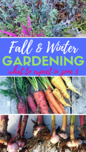 Want to start a fall or winter garden in zone 3? I'll help you manage your expectations and give you tips on what you can do with annual and perennial flowers, seeds and seed saving, vegetables, and more. #gardening #fall #winter #beginners #tips #ideas #seeds #perennials #annuals #flowers #vegetables