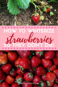 Growing strawberries in your garden? Whether you're growing them in containers, raised beds, pots, or in the ground, you'll need to know how to keep your plants alive--especially in the winter! Click for my best tips for beginners in zone 3. #strawberries #winter #garden #gardening #tips #ideas #beginners