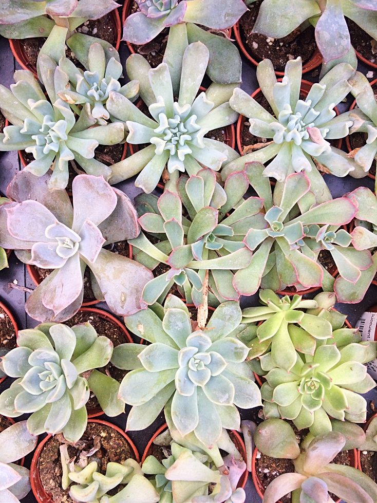 Are your succulents constantly dying indoors in containers or terrariums?  Here's how to care for them instead, plus some tips for propagating tired looking succulents into beautiful decor. #succulents #indoorgardening