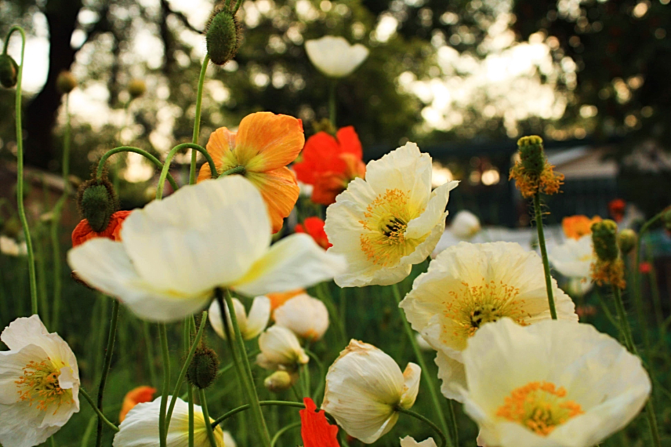 Wouldn't it be nice if you could make money off of growing these gorgeous icelandic poppies? Did you know you can start your own flower farm in a small backyard? Danielle shares how she started a flower farm business with cut flowers like Floret for under $2000. #cutflowers #flowerfarm