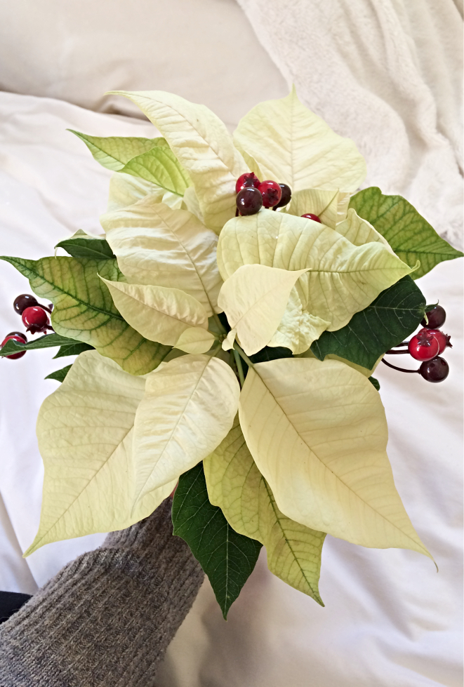 You can easily DIY a cheap and boring poinsettia plant into a beautiful centrepiece for your Christmas or Holiday decor and gifts!  I'll show you some easy ideas with different colours of poinsettia flowers.  Get inspired and create your own! #poinsettia #christmas #holiday #diy #centrepiece