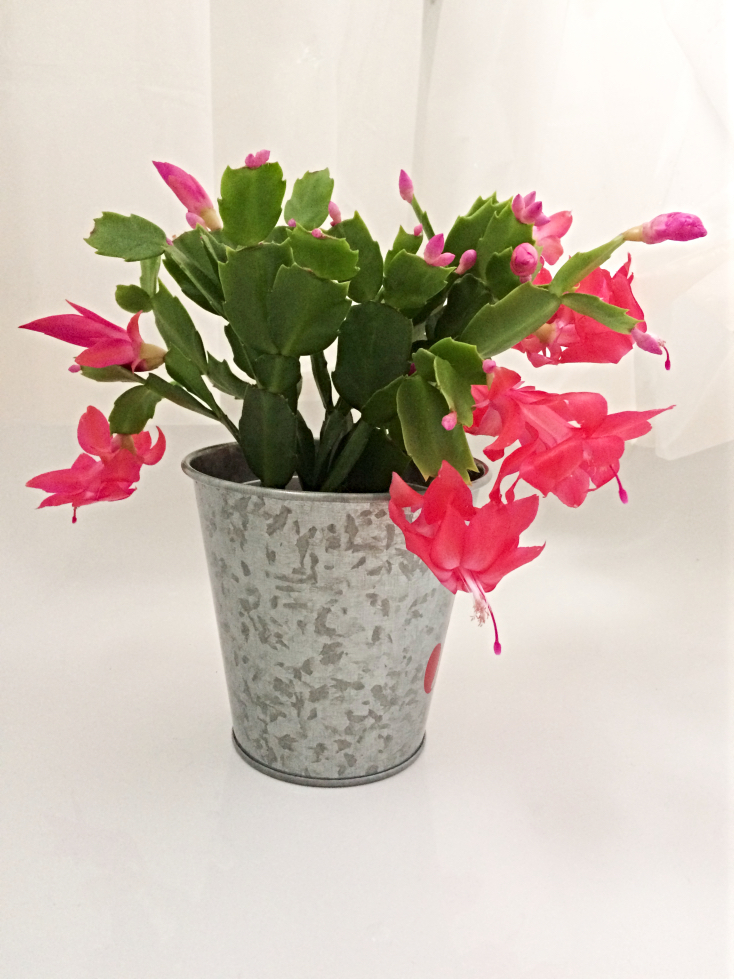Christmas Cactus Bloom.Why Won T My Christmas Cactus Bloom And What To Do About It