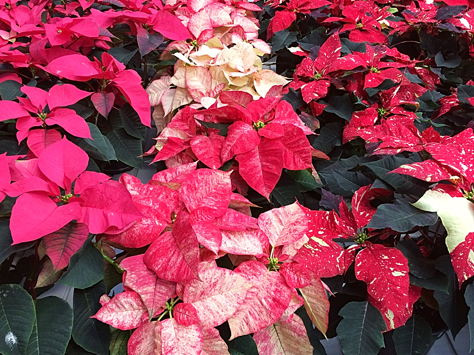 How To Care For A Poinsettia So It Lasts Until Christmas
