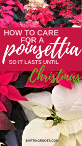 Nobody wants to receive a poinsettia plant as a gift this holiday, only to have it die before Christmas! Avoid that fate with these tips for caring for your poinsettia flower. #poinsettia #Christmas #holiday #houseplants