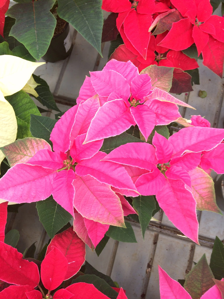Nobody wants to receive a poinsettia plant as a gift this holiday, only to have it die before Christmas! Avoid that fate with these tips for poinsettia flower care. #poinsettia #Christmas #holiday #houseplants