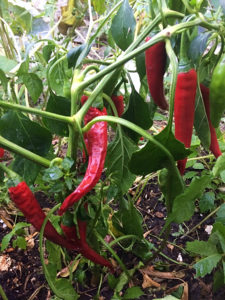 Smaller chili and cayenne hot peppers are easier to grow vegetables for beginner gardeners. I'm going to plant some this spring in my vegetable garden. #peppers #gardening #vegetable