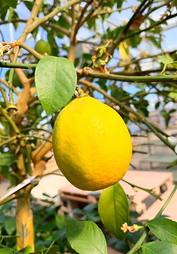 Did you know you can actually grow a Meyer lemon tree in cold climates, like zone 3!?!?  Here's how to grow a lemon tree in a pot indoors as a houseplant, along with care trips.  Then take it outdoors for the summer in your backyard. #lemontree #fruittree #containergardening #canada #zone3