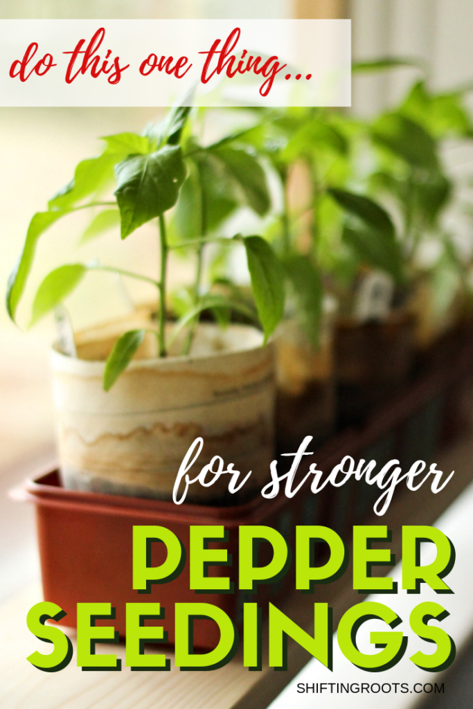 You'll never guess this one easy pepper growing tip for strong, healthy plants.  I'm so doing this with my vegetable garden seedlings this year! #peppers #vegetable #gardening #seedstarting #seedling #tips