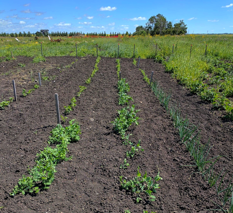 Having a large vegetable garden on an acreage sounds like a dream. . .until you have to figure out what to plant and how to weed it.  This article has so many good tips on how to keep homestead gardening low maintenance when you have tons of space!! #acreage #homestead #vegetablegarden