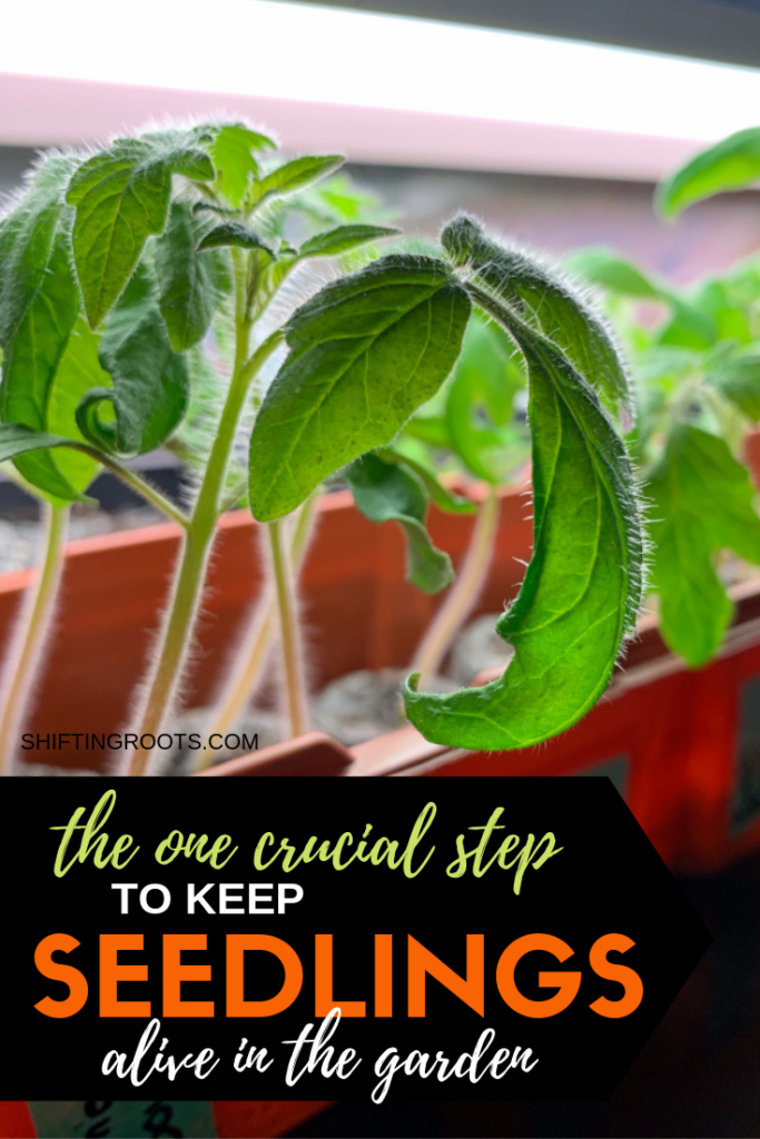 It's time to put your seedlings into the garden, but if you miss this one crucial step they'll likely die.  Don't let your vegetable and flower plants that you've been seed starting since February and March go to waste! #seedlings #seedstarting #garden #gardening