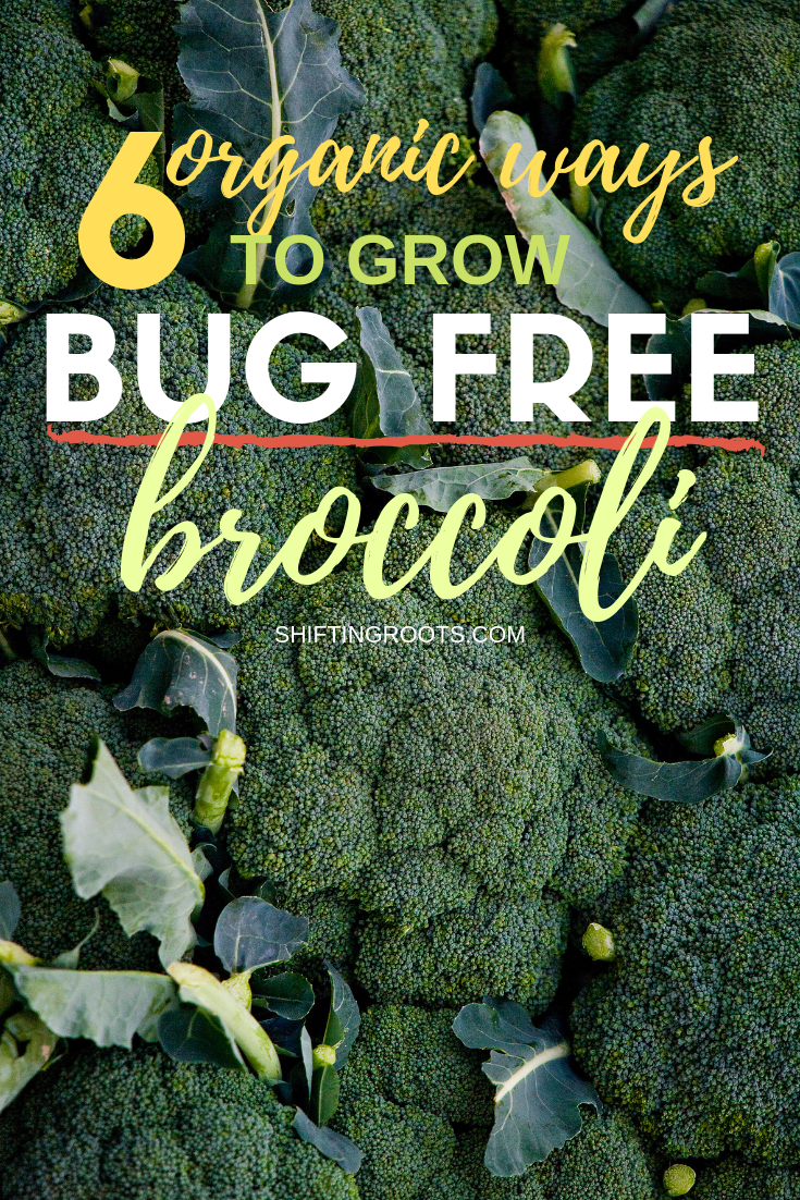 I love to grow broccoli, cabbage, and cauliflower, but I hate how cabbage worms get to it every year.  I'm so excited to discover there are 6 organic ways to get rid of cabbage worms and finally get my vegetable garden under control.  These products are all pretty cheap too! #gardeningtips #broccoli #cabbageworms #vegetable