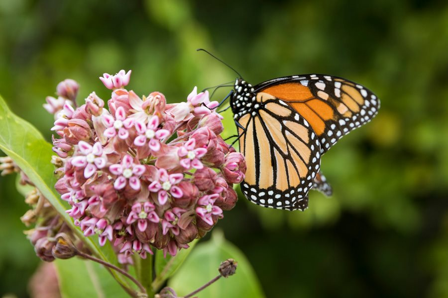 Monarch butterfly and milkweed