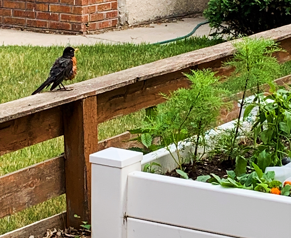 Are birds eating all of your leafy vegetables?  Here's a simple dollar store solution you can DIY in the vegetable garden to keep them out! #vegetablegarden #diy #birds #pests