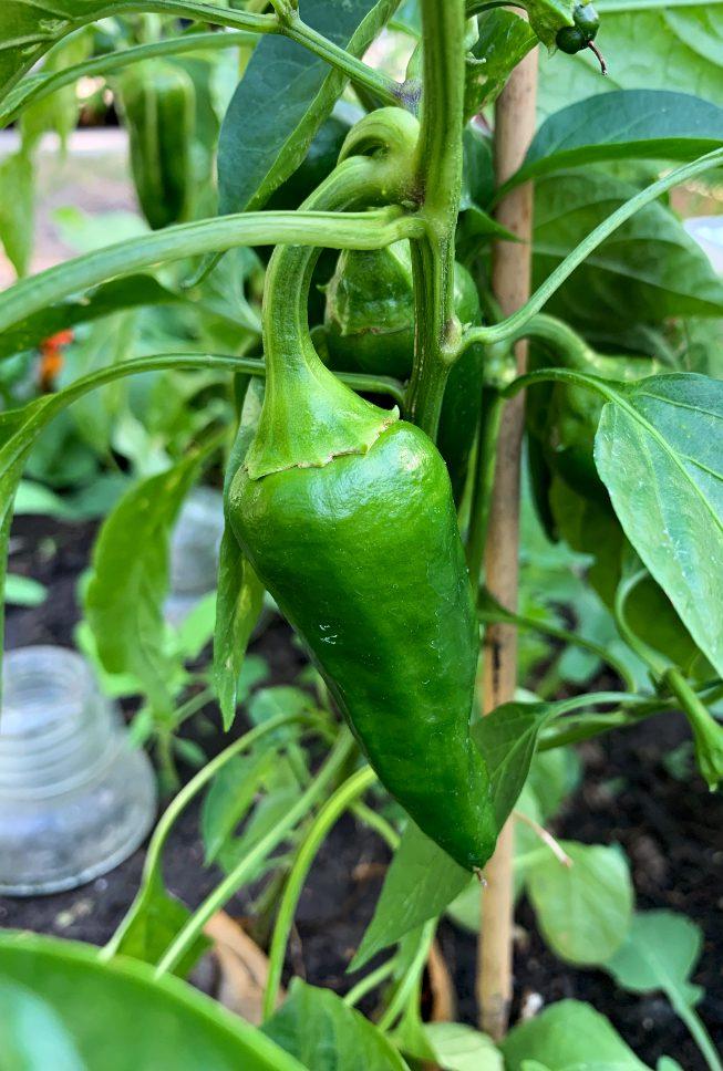 A huge pepper grown in zone 3 in Saskatoon Saskatchewan in the middle of June! #peppers #vegetablegarden