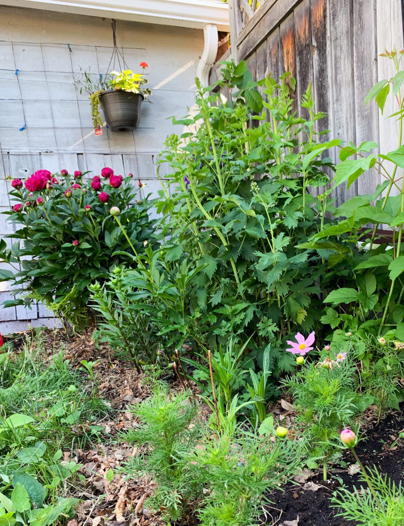 This more established perennial garden is full of fuchsia peonies, delphiniums, lilies, liatris, and annual cosmos for added colour. #flowers #perennials