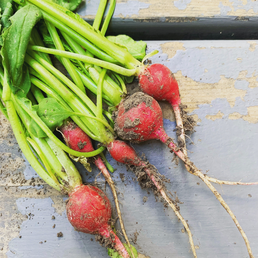 My first crop of radishes!