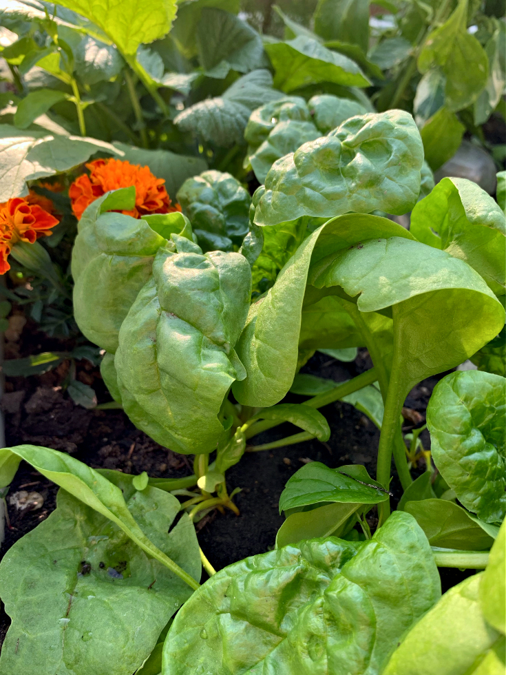 Spinach with marigolds.