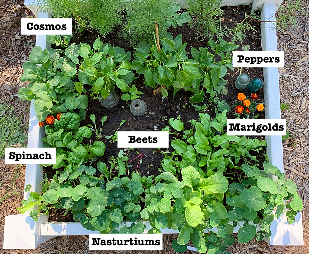 A square foot gardening plan that actually works in real life!  Cosmos, peppers, marigolds, beets, spinach, and nasturtiums make a lovely pairing in this raised bed vegetable garden in zone 3. #raisedbed #squarefootgarden #vegetables