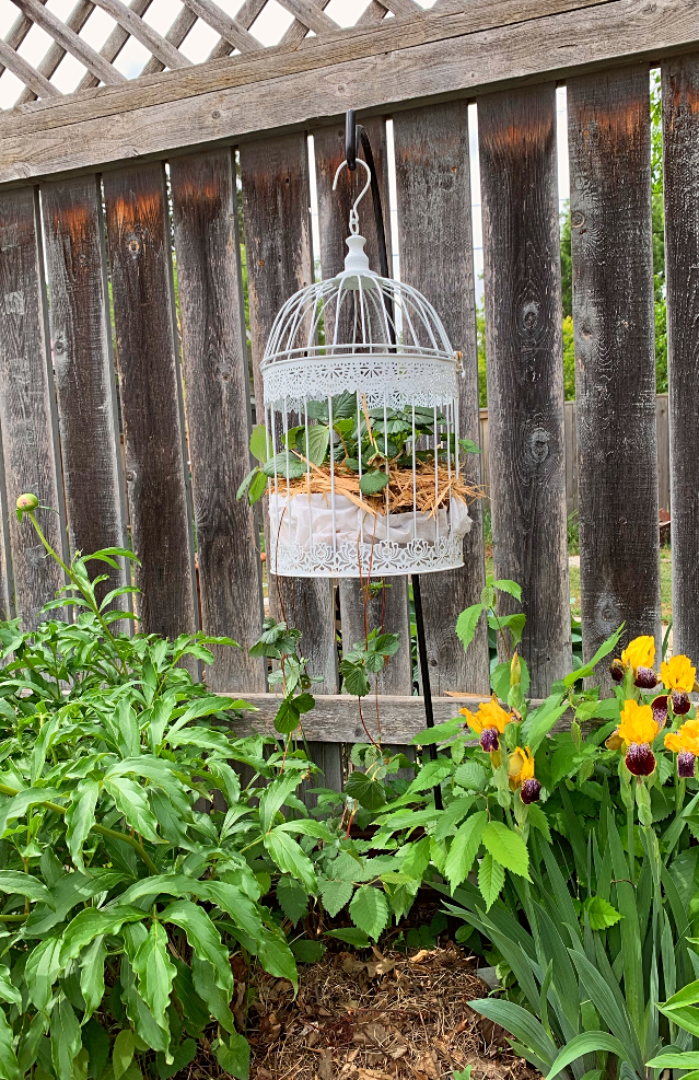 Struggling with birds eating all your strawberries?  Putting them in a bird cage is both beautiful and practical. #strawberries #whimsical #gardenart