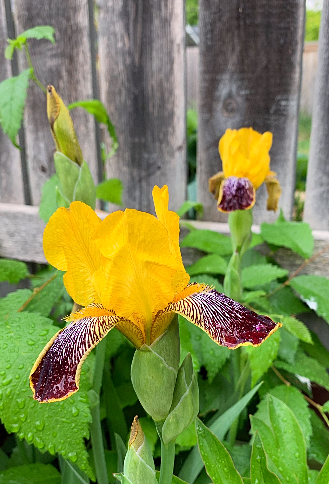 Gorgeous yellow irises grown in my backyard perennial bed in zone 3. #iris #perennials #flowers