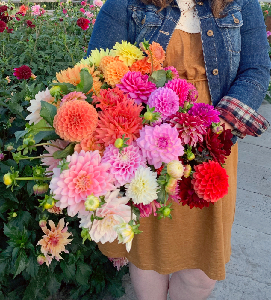 Rainbow bouquet of dahlias held by a woman.