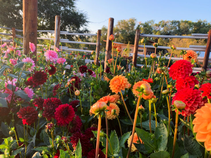 How to Overwinter Dahlias in Cold Climates