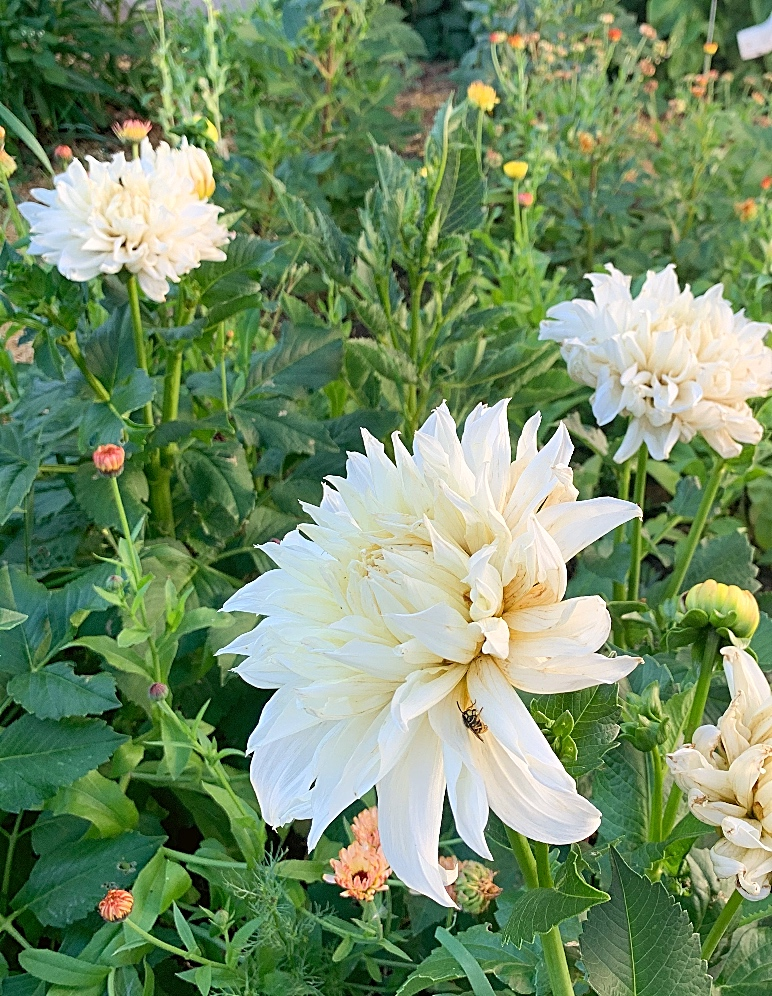 Three Cafe Au Lait dahlias amongst calendula.