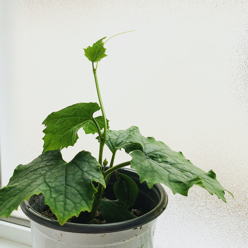 Loofah seedling on a windowsill looking for a place to climb.