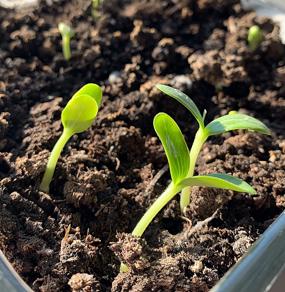 Loofah seedlings just emerging from the soil.